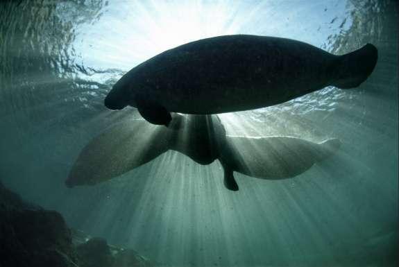 Manatees swim in water.