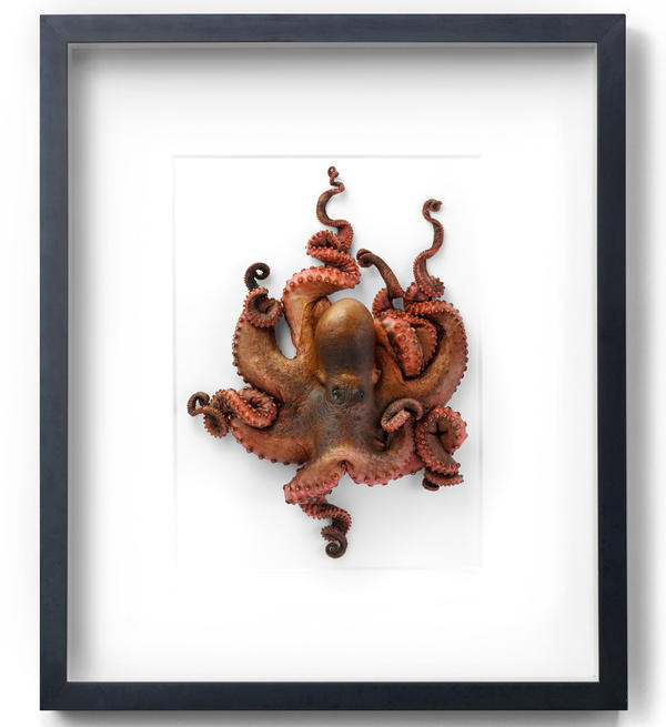 Marley has pioneered a way to freeze-dry animals that makes them look alive in the frames. (Pictured: <em>Octopus Small</em>)