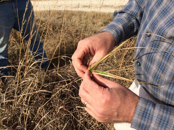 A handful of Kansas prairie plants in late winter. Cattle need the nutrient-rich green grass to grow.