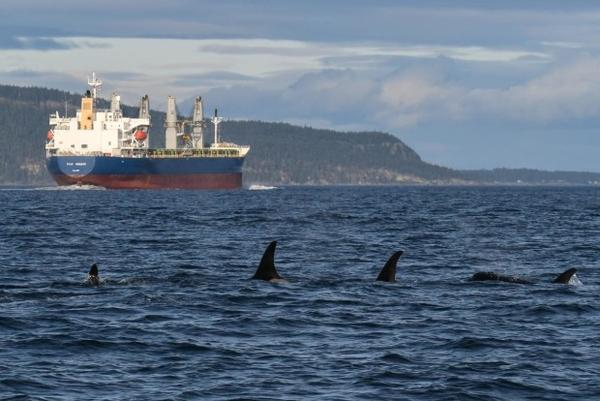 <p>A group of orcas and the cargo ship Star Minerva in Haro Strait, with Saturna Island, B.C., in the background, on Feb. 16.</p>