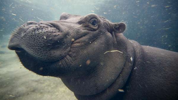 Baby Fiona plays in her enclosure at the Cincinnati Zoo & Botanical Garden.