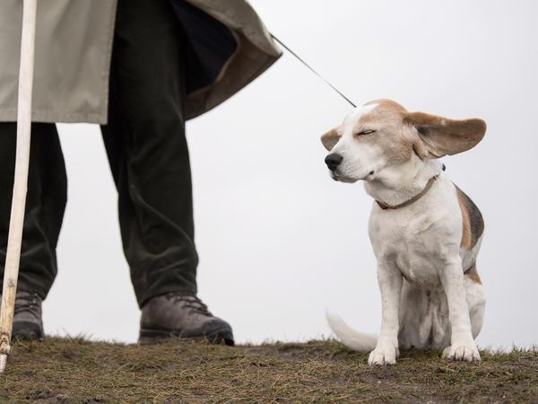 Heidi's ears fluttering in the wind during a walk in Reutlingen in southern Germany.