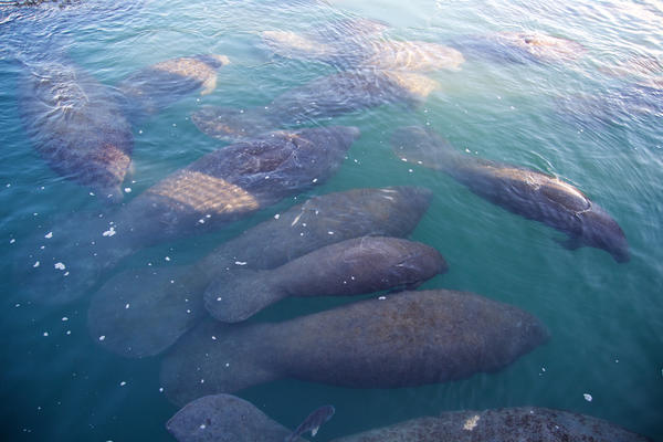 Manatees huddle together for warmth at the FPL Manatee Lagoon in Riviera Beach on Jan. 18, 2018.