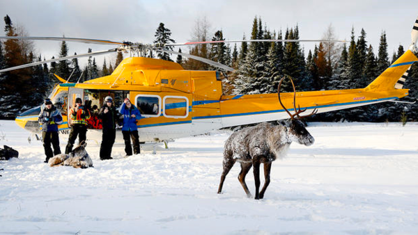 Caribou is released on Canada's Slate Islands.