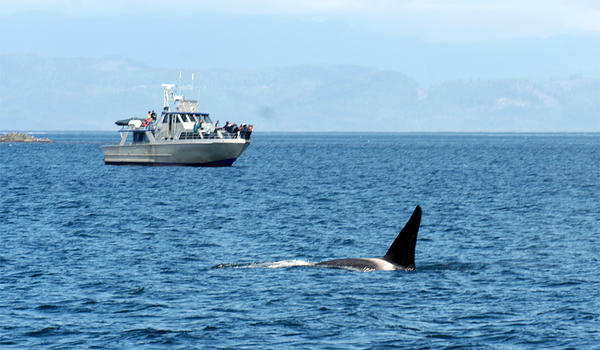 File photo. A bill in the Washington Senate would require boats to slow down when they are in the vicinity of endangered Southern Resident Killer Whales.
