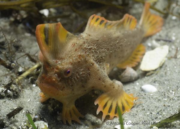 """A new population of the rare red handfish, which gets around by """"walking"""" slowly along the seafloor, has been found off Tasmania, Australia."""