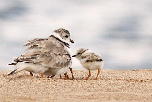 Piping plover chicks can run around within hours of hatching, but take about 23 days to learn how to fly.