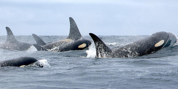The population of endangered southern resident killer whales has dwindled to 76 individuals.
