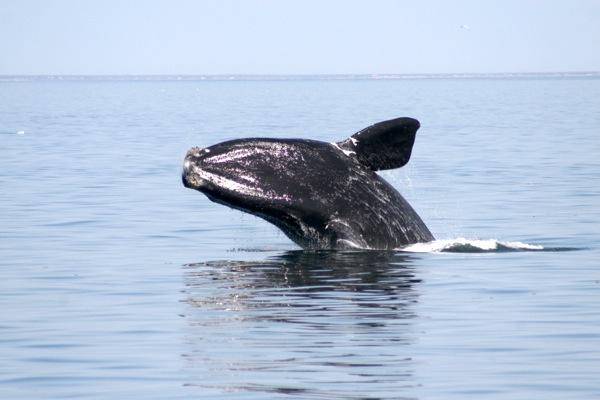 This right whale was spotted off the coast of New England