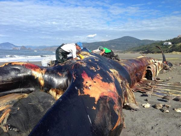 <p>A 78-foot blue whale that washed ashore in November 2015 near Gold Beach, Oregon. Researchers now need funding to process its bones and reassemble its skeleton.</p>