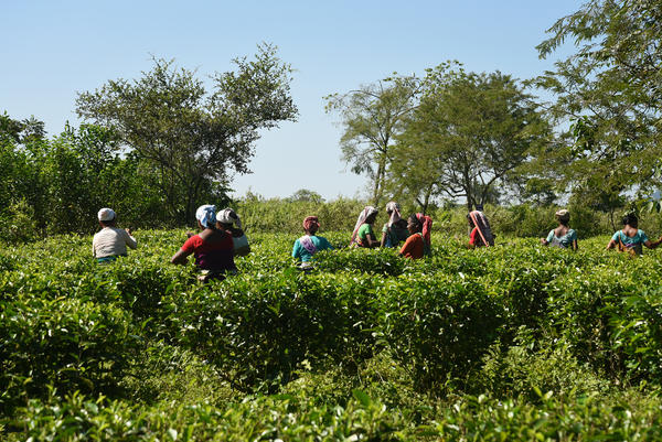 Tea pickers stand in the scorching sun, hand-plucking the tea leaves for about eight hours a day.