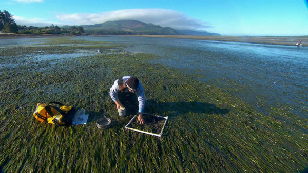 <p>OSU researcher Caitlin Magel takes samples from an eelgrass bed in Netarts Bay, OR.</p>
