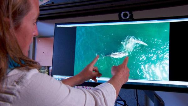 <p>Oregon State University researcher Leigh Torres demonstrates how drone footage allows her to measure the length and girth of gray whales off the Oregon coast.</p>