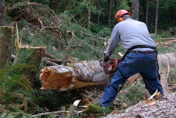 <p>A logger cuts a tree that had broken off.</p>