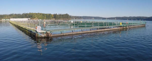 Cooke Aquaculture's Atlantic salmon farm near Bainbridge Island, Washington.