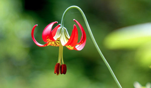 <p>An endangered Western lily in full bloom.</p>