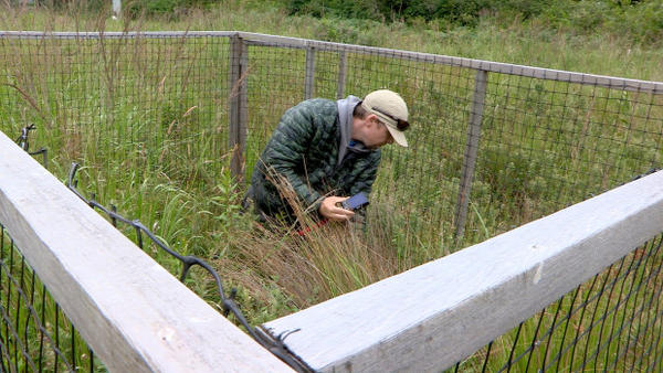 <p>Coos Watershed Association survey tech James Orr looks for Western lilies in a deer exclosure.</p>