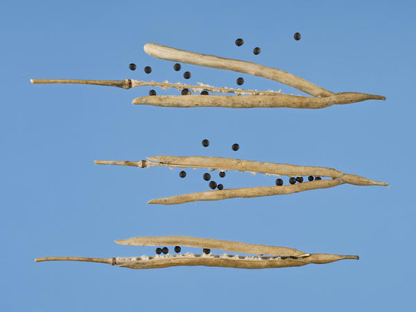 Warmer temperatures are making canola and possibly other brassica seedpods open too early, reducing crop yields.