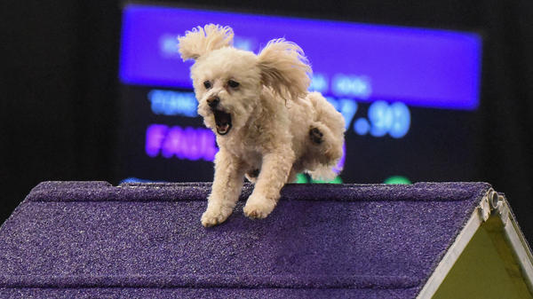 A dog leaps into the Masters Agility Championship in New York City.