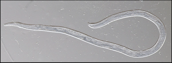 <p>An adult female eye worm.</p>