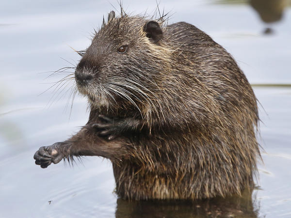 Nutria were believed to have been eradicated in California, but the swamp rodent is back. Wildlife officials want the public's feedback before devising a new plan to get rid of them.