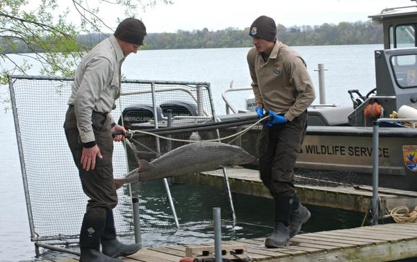 by Biologists from the U.S. Fish and Wildlife Service preapre to examine a lake sturgeon near Lake Ontario.