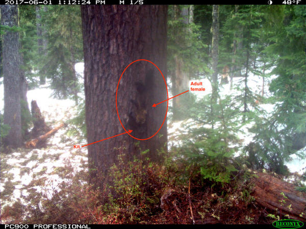 <p>A trail camera captured this image in 2017 in Washington's Gifford Pinchot National Forest. It's where fishers had been reintroduced from Canada two years earlier. The image has been digitally enhanced to show a female fisher carrying her young near a nesting cavity in the tree trunk.</p>
