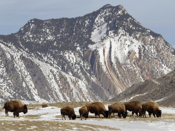 An Illinois man was looking for buried treasure when he fell to his death at Yellowstone National Park last June. Here, bison graze just inside the park near Gardiner, Mont., in 2011.