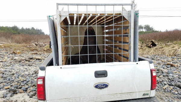 <p>A sea lion is relocated from Willamette Falls to the Oregon coast in the back of a pickup truck.</p>