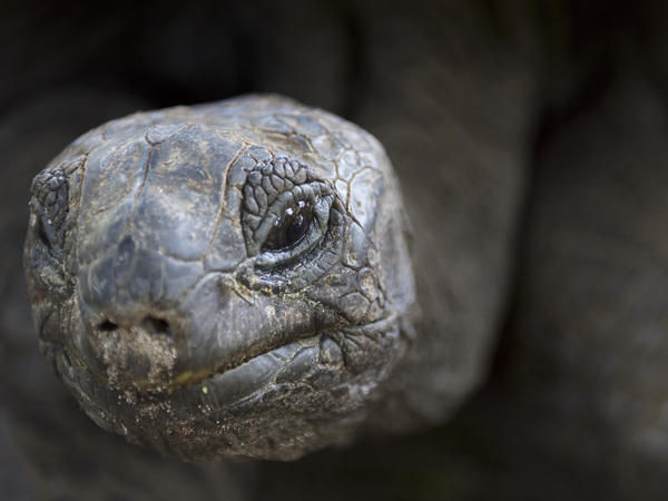 An Aldabra giant tortoise on Curieuse island in the Seychelles.