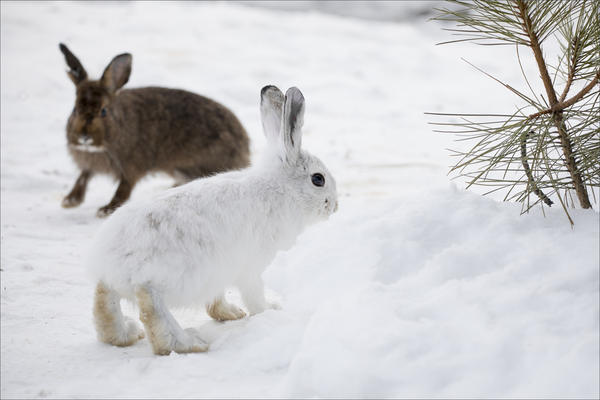 Snowshoe hares at a University of Montana research facility.