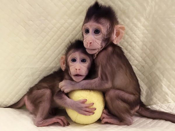 Zhong Zhong (left) and Hua Hua are the first primate clones made by somatic cell nuclear transfer, the same process that created Dolly the sheep in 1996.
