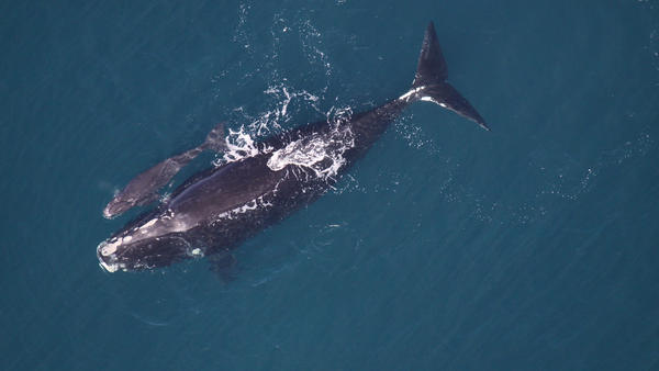 A mother right whale with a calf, around 3 days old, was spotted in December 2013 off the coast of Sapelo Island, Ga.