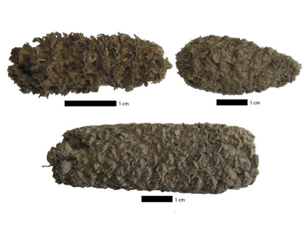 A collection of the ancient cobs unearthed by Tom Dillehay, one of Dolores Piperno's collaborators, at a site in Peru.