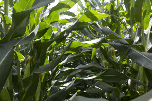 A study tries to understand how much intensive agriculture has contributed to climate change in the Midwest.