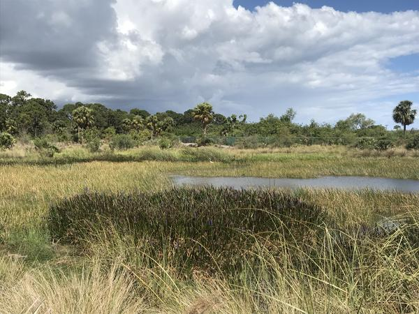 Scrubs are typically dry land with sandy soil and low shrubs, interspersed with trees like the sand pine. But the Yamato Scrub Natural Area in Boca Raton contains several different ecosystem types, including this marsh.