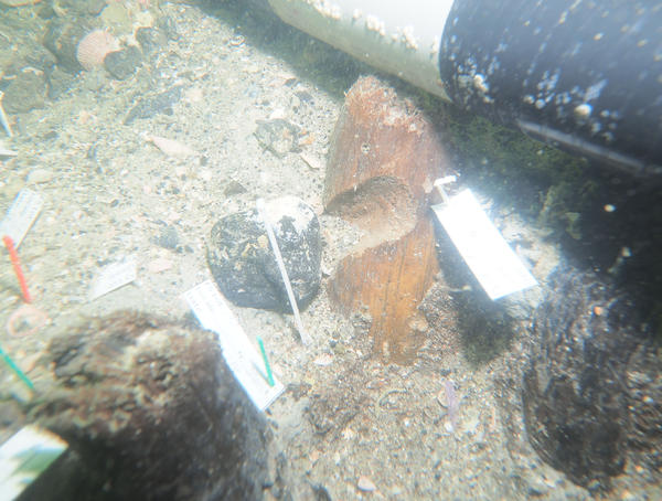 One of the stakes excavated at Manasota Key Offshore revealed a notch in its length. It is not yet known what the notch was for.
