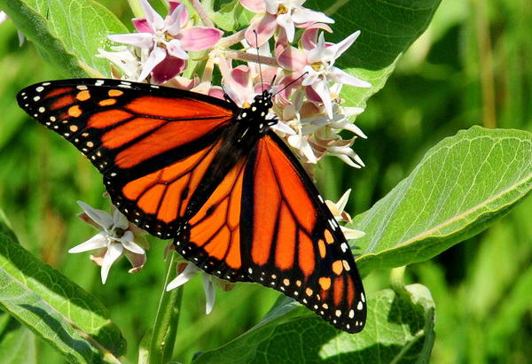 A study from the Center for Biological Diversity is raising the alarm that dicamba-based herbicides could be damaging monarch butterfly habitats.