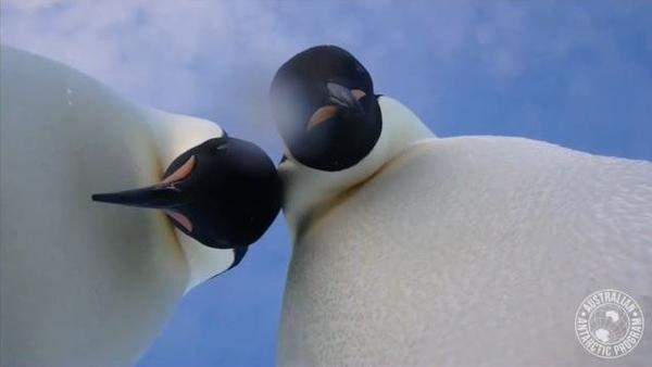 "Emperor penguins near Australia's Mawson research center in Antarctica took a video ""selfie."""