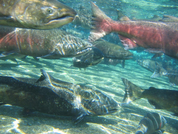 <p>Fall chinook. Fishery managers closed ocean salmon seasons on about 200 miles of coastline in Oregon and California in 2017.</p>