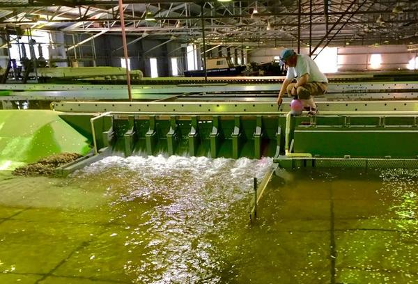 <p>Sean Milligan of the U.S. Army Corps of Engineers Walla Walla District sends hot pink dye through the spill bay of the Little Goose Dam model in Vicksburg, Mississippi.</p>