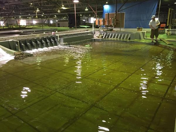 <p>Sean Milligan with the U.S. Army Corps of Engineers throws confetti into the pool in the Little Goose Dam model, which is 55 times smaller than the real dam on the Snake River in Washington.</p>