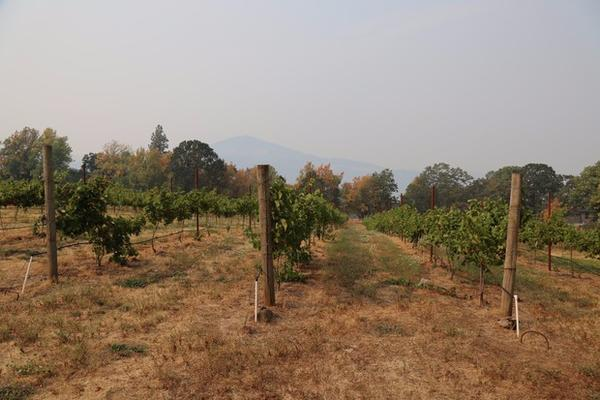 <p>Smoke from the Eagle Creek Fire is seen from the seven-acre vineyard Cathedral Ridge Winery in Hood River, Oregon.</p>