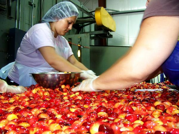 Farm-fresh Rainier cherries get sorted before they're dried for candy and other treats.