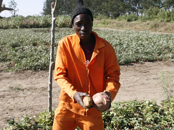 Arcanjo Alfabeto Cosim works on a farm that grows orange sweet potatoes and distributes vines to other farmers to plant.