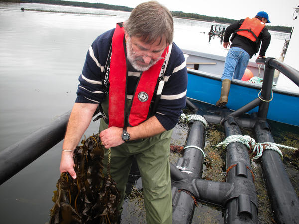 Thierry Chopin examines two type of seaweed being grown around Cooke Aquaculture's salmon farm. The company sells the seaweed as a specialty food and to a cosmetic company, which extracts natural compounds from it. Chopin is also experimenting with seaweed as a protein supplement for fish meal.