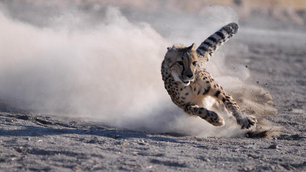Moyo, a 3-year-old male cheetah from South Africa, chases a lure during the Cheetah Dash event at the Animal Ark in Reno, Nev.