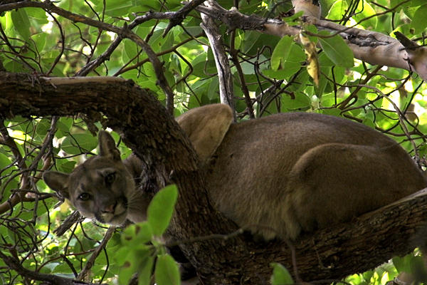 Mountain lion 38F perches in a tree before getting a tracking collar from the Santa Cruz Puma Project.