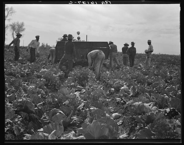 """Workers harvest cabbage in California's Imperial Valley (1937). Steinbeck writes: """"A man may stand to use a scythe, a plow, a pitchfork; but he must crawl like a bug between the rows of lettuce, he must bend his back and pull his long bag between the cotton rows, he must go on his knees like a penitent across a cauliflower patch."""""""