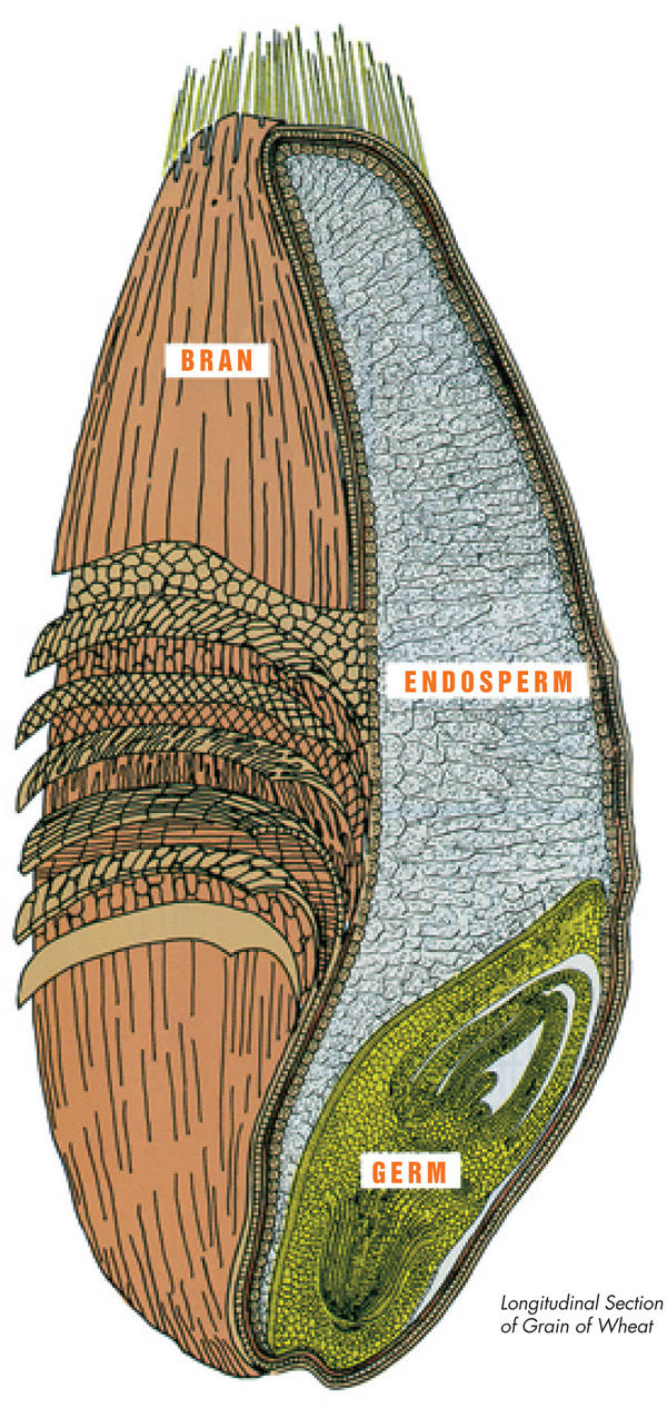 Each kernel of wheat contains three distinct parts that are separated during the milling process to produce flour. The germ is the embryo or sprouting section that is often separated from flour. The endosperm is the source for white flour. Bran is included in whole wheat flour.